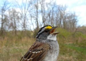 songbird_resize
